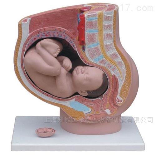 女性妊娠矢状解剖模型