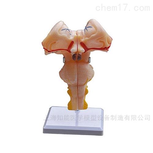 脑干解剖放大模型