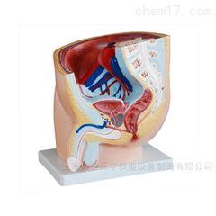 男性骨盆矢状解剖模型