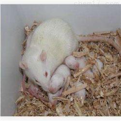 哺乳期大鼠饲养实验服务