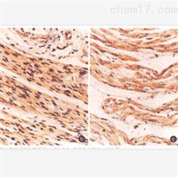 大鼠心脏免疫组化实验服务