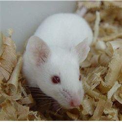 大鼠缺血再灌注动物模型实验