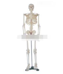 全身骨骼模型